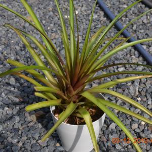 T. lindenii(リンデニー)