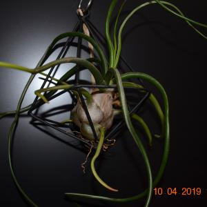 T. bulbosa Gigante(ブルボーサ ヒガンテ)