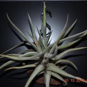 T. xiphioides(クシフィオイデス)