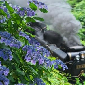 紫陽花を行く