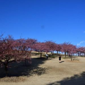 市民のもり公園の河津桜