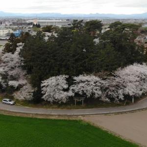 お富士山古墳でお花見散歩