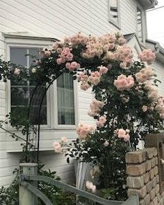 今年の薔薇は綺麗 ?