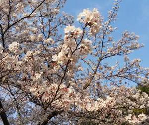 春爛漫 !