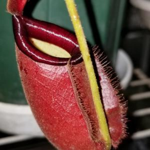 N.ampullaria(Rougeblack) x northiana(red)