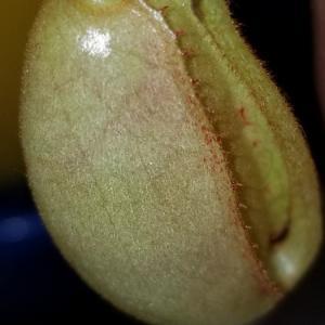 N.spectabilis x veitchii
