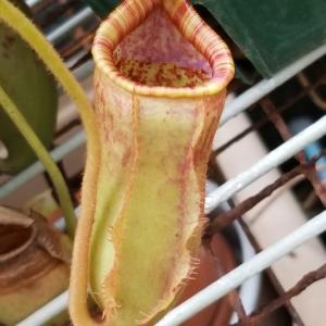 N.veitchii x (lowii x ventricosa)