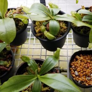 N.ampullaria green Serian Sarawak