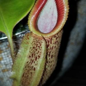 N.robcantleyi x hamata