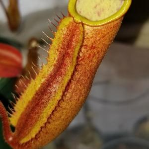 N.truncata x peltata f.red Phantom