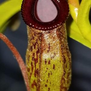 N.aristolochioides x ventricosa