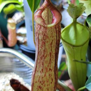 N.ventricosa x hamata
