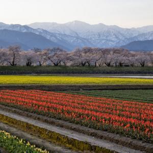 チューリップ畑と雪山 春の四重奏