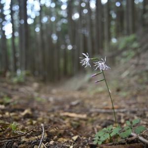 エンシュウハグマ咲き始め 秋葉山
