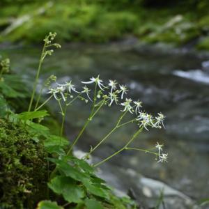 市内近郊の渓流に咲く花 ダイモンジソウ ホトトギス