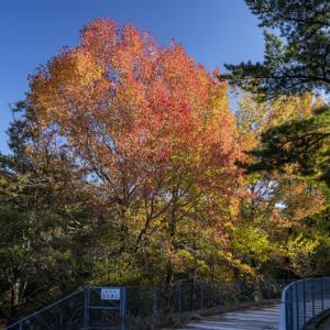 モミジバフウの紅葉が綺麗 浜北森林公園