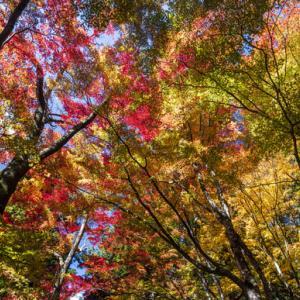 大井平の紅葉が最盛期