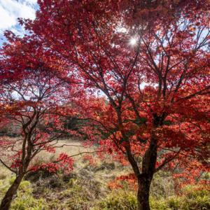 タカドヤ湿地 真っ赤な紅葉 稲武町
