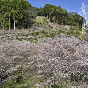 光明山の四季桜 とても綺麗