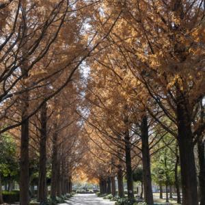 メタセコイア並木道 美薗公園