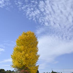 畑の真ん中に大きな銀杏の木