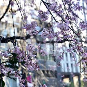 ★東京は桜が満開