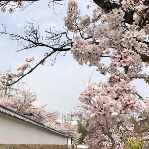 2021年京都さくら