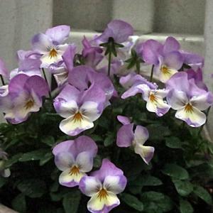 【寒さに耐えている花】たちでした。