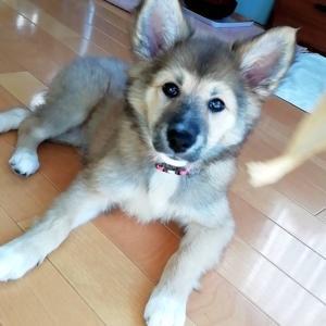 MIX子犬の女の子もっちちゃん、きのこちゃん、つくねちゃん、すまきちゃん②
