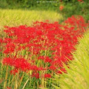 今週から彼岸花。昼と夜の気温差を感じて起きてくる花