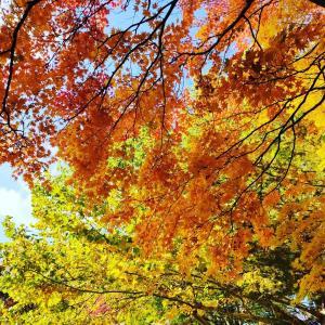 札幌 円山公園 北海道神宮の紅葉♪ちょうどピーク!