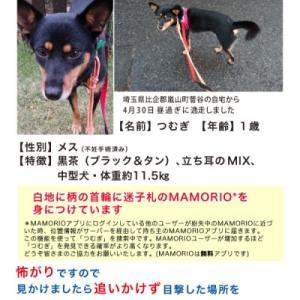 埼玉県比企郡嵐山町で黒柴風mix迷子です