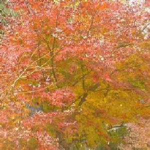 紅葉の名所 例年11月下旬~12月上旬が見頃 童子沢親水公園 (静岡県島田市(旧榛原郡金谷町)大代2485‐1)