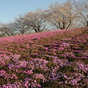 新荒川大橋緑地の芝桜・・3