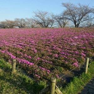 新荒川大橋緑地の芝桜・・2