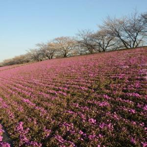 新荒川大橋緑地の芝桜・・1
