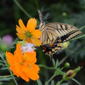 キバナ コスモスに蝶々・・2