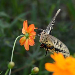 キバナ コスモスに蝶々・・1