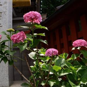 王子稲荷神社のアジサイ・・1