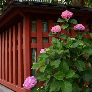 王子稲荷神社のアジサイ・・2