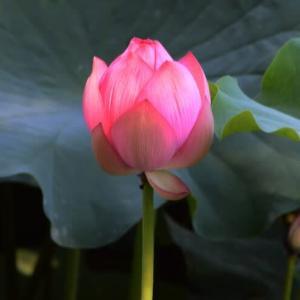 上野不忍池・蓮の花・・2