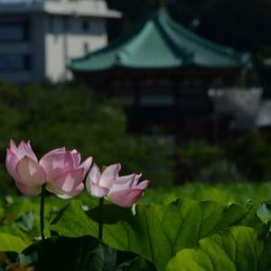 上野不忍池・蓮の花 パート2・・1