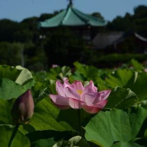 上野不忍池・蓮の花・・3