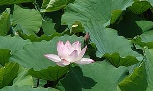明見湖の蓮の花
