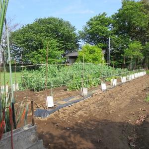 夏野菜を植えました。