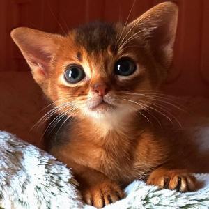 アビシニアン 子猫 ルディの女の子、生後44日目