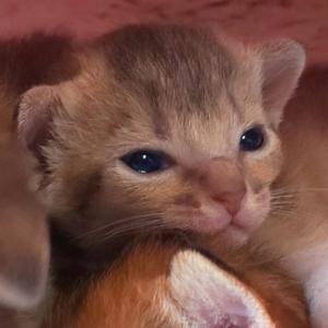 アビシニアン 子猫 ブルーの女の子たち、生後16日目