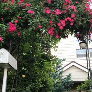 アーチのつるバラが咲きました