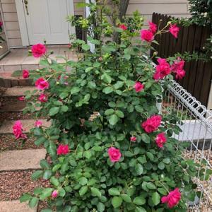 暑い夏だったのに咲いたバラ