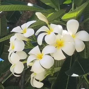 サイパンと言えばこのお花☆やっぱり好き。サイパン企画!第13弾